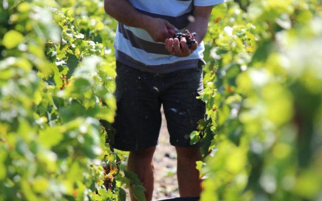 Début des vendanges chez Sébastien Dupré et Robert Verger, vignerons en côte-de-brouilly, le jeudi 4 août 2014.